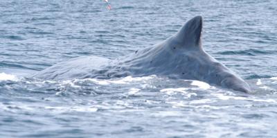 Sperm Whale Dorsal Fin (Alexi Calambokidis- Cascadian Research)