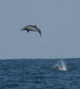 Spinner Dolphin (John Calambokidis, Cascadia Research)