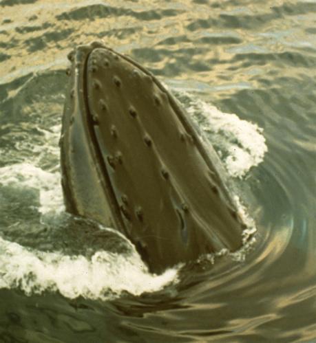 Humpback Whale Spyhop Stellwagon Bank, off Cape Cod (L. Wade