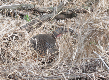 In May 2013, a wild turkey made her nest near Nine Mile Creek.