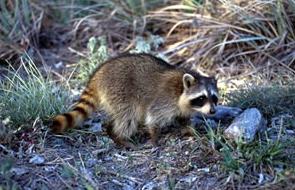 raccoon www.nhptv.org/natureworks