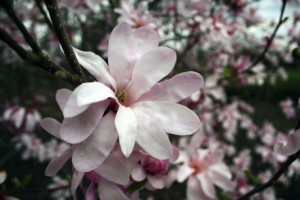 Magnolia's blooming in March, St. Paul, MN, 2012.