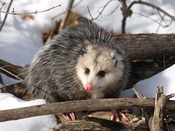 Opossum Mike Farrell