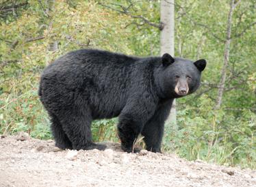 Black Bear www.revelstokebearaware.org