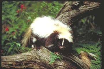 Striped Skunk Dominique Braud