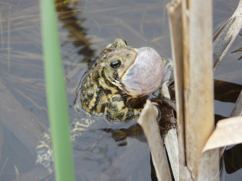 American Toads beginning calling at the end of April
