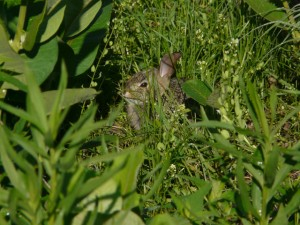 Young cottontail hiding