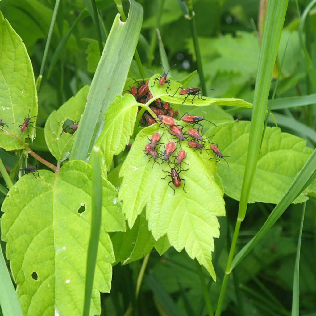 Box Elder Bugs on Box Elder leaves