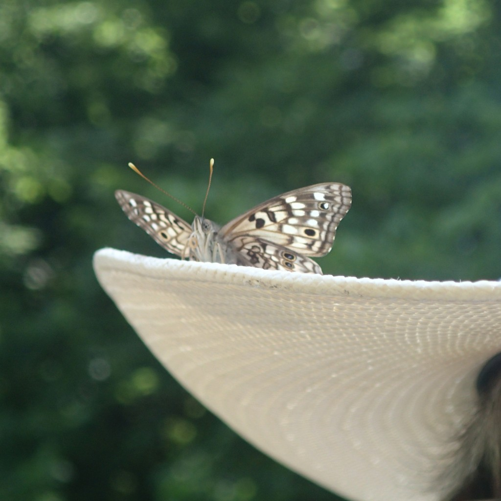Hackberry Emperor on Wambdi Wapaha's hat (Guadalupe Lizeth Lima Soto)