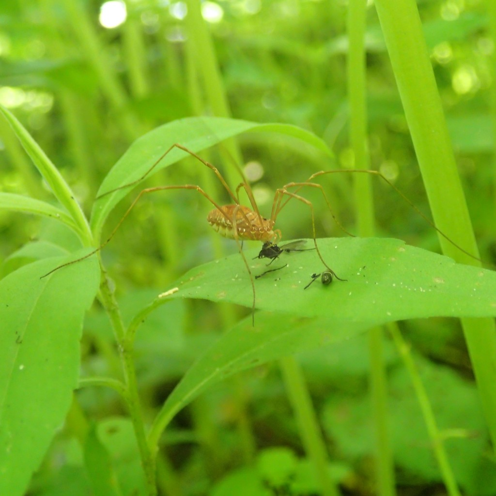 Harvestman eating a fly (Eduardo Tomas Nieves)