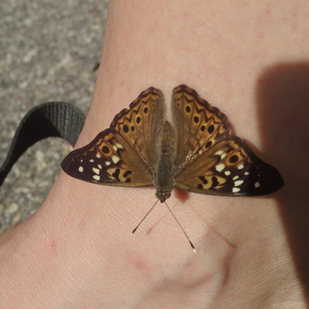 Hackberry Emperor (Guadalupe Lizeth Lima Soto)