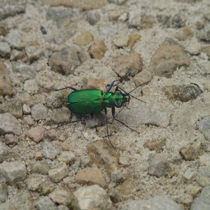 Six Spotted Tiger Beetle (Guadalupe Lizeth Lima Soto)