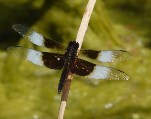 Widow Skimmer -LSWade