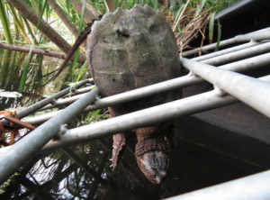 The snapping turtle is wedged tightly in the drainage pipe grate.