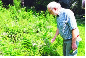 "Jeff Dinsmore tends some of his ""bee friendly"" plants http://sailor.mnsun.com/2014/08/08/shorewood-becomes-a-bee-friendly-city/"