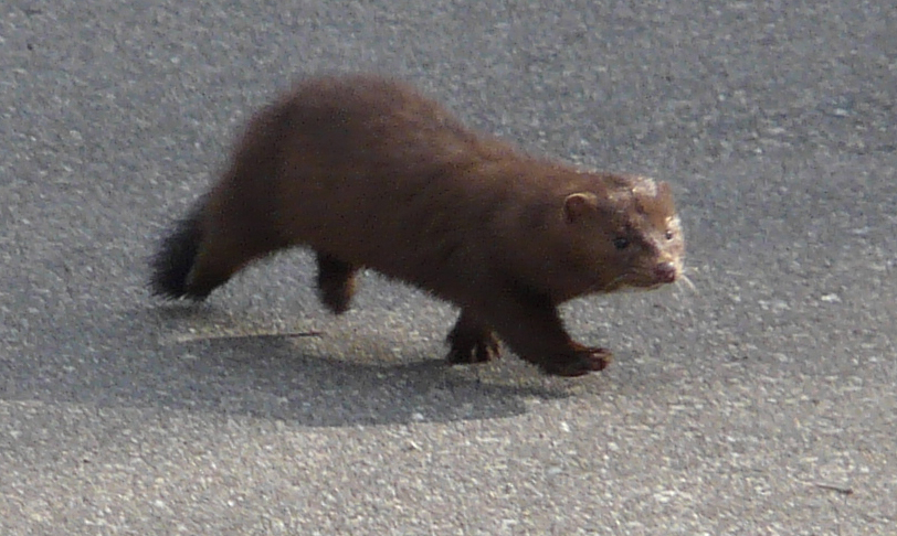 Mink on the bike path