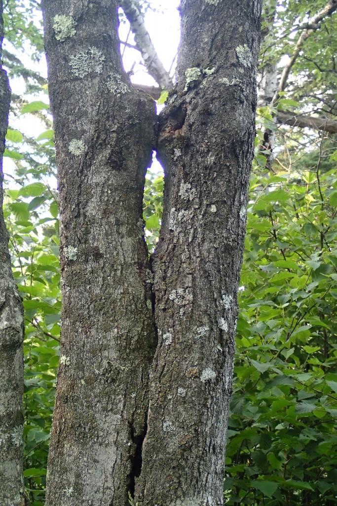 Kissing Tree Catriona Ray