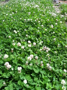 dutch white clover