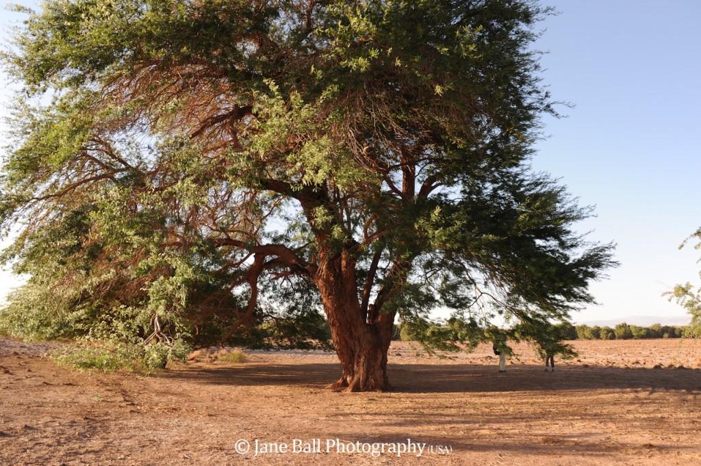 Carob Tree Photo by Jane Ball