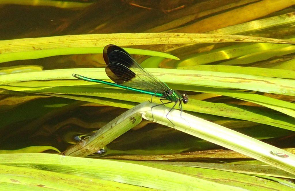 emerald Jewelwing