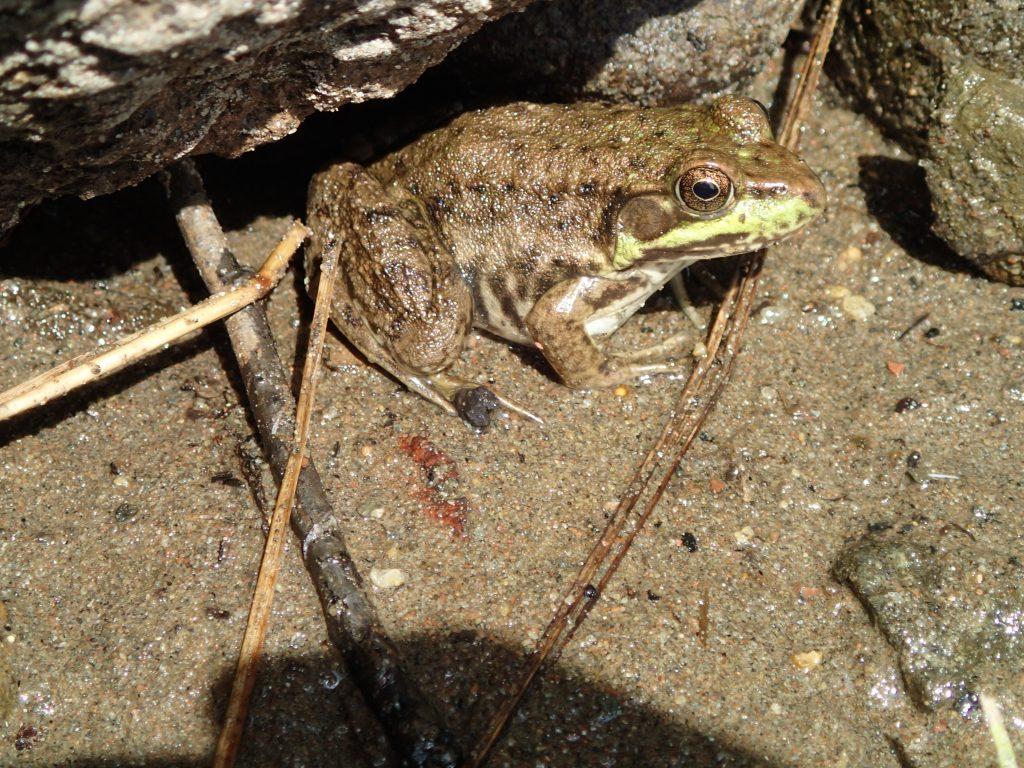 Mink Frog photo by Taylor Hedlund