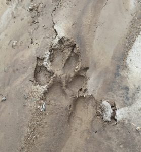 Coyote Track