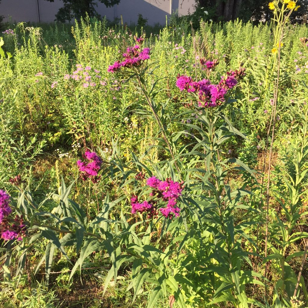 Ironweed Blooms in late July to early August