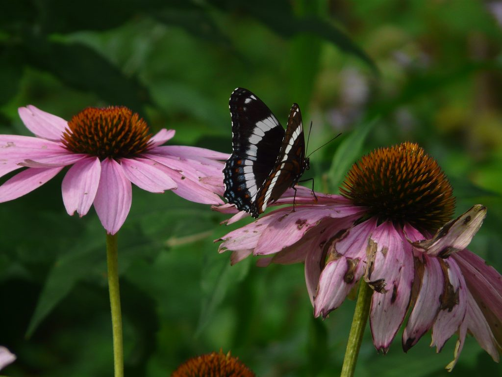 White admiral in the butterfly garden.