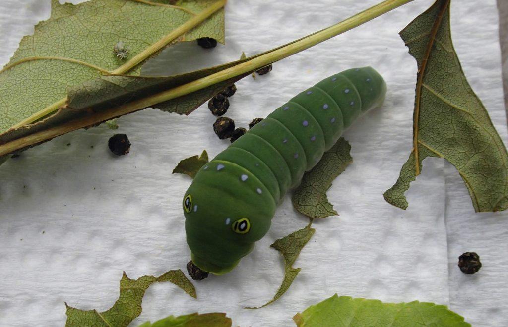 This one is the tiger swallowtail. It is in its 5th instar and will turn brown soon. That is when you know it is going to pupate. I feed it green ash.